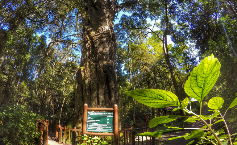The Woodville Big Tree trail leads to a yellowwood tree estimated to be 850 years old