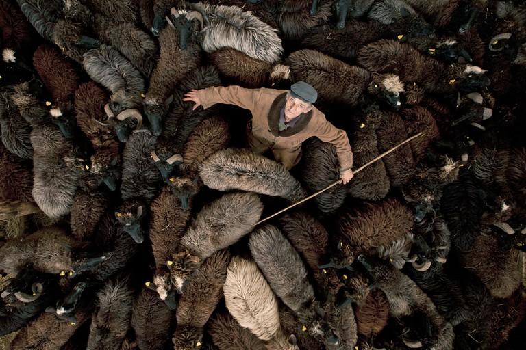 A Shepherd with his flock of endangered Karakachan sheep