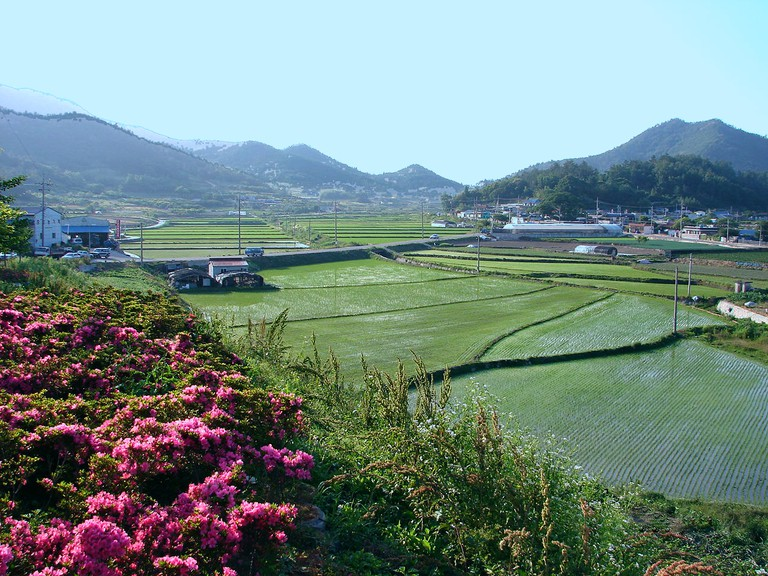Rice fields in rural Goheung, Jeollanam-do, South Korea