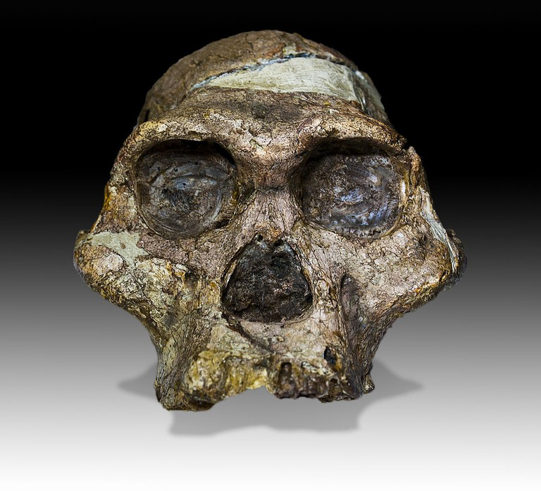 "The original complete skull (without upper teeth and mandible) of a 2,1 million years old Australopithecus africanus specimen so-called ""Mrs. Ples"" (catalogue number STS 5, Sterkfontein cave, hominid fossil number 5), discovered in South Africa"