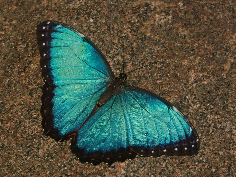 Blue beauty, the blue morpho butterfly