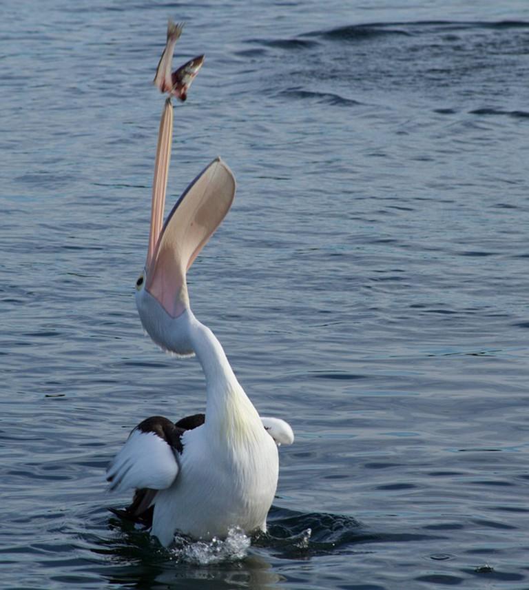 A pelican feeding