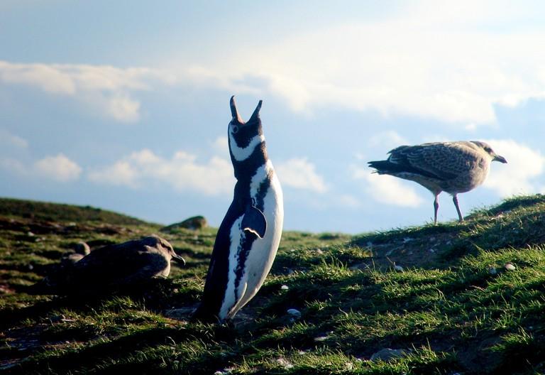 Penguins at Magdalena Island, Chile