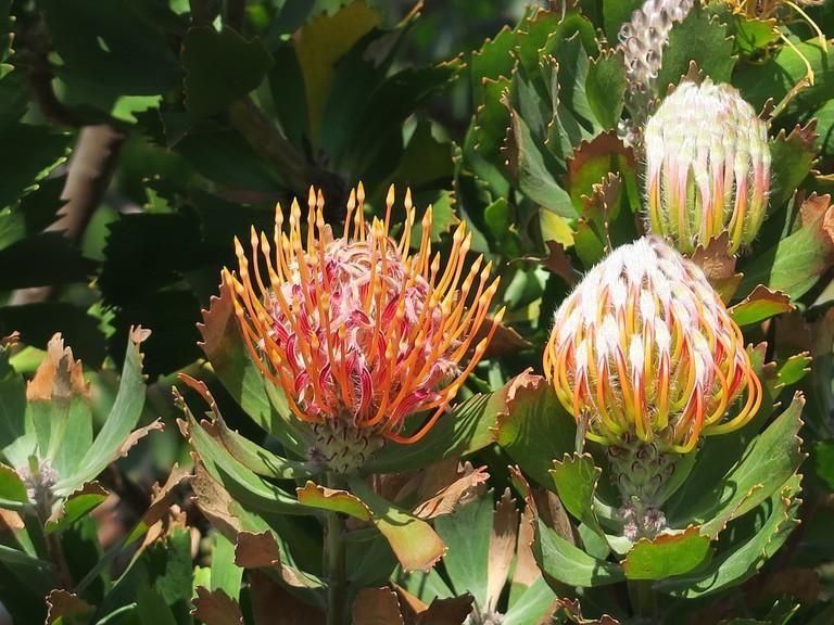 Protea flowers at Kirstenbosch Garden