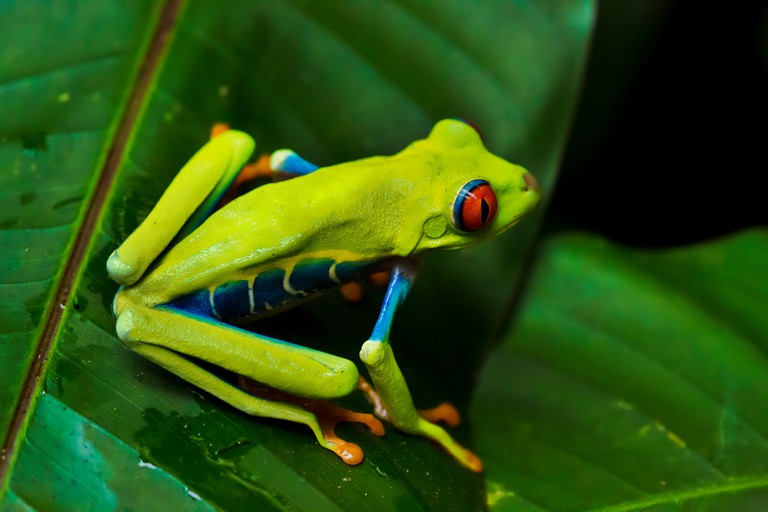 The iconic red-eyed tree frog