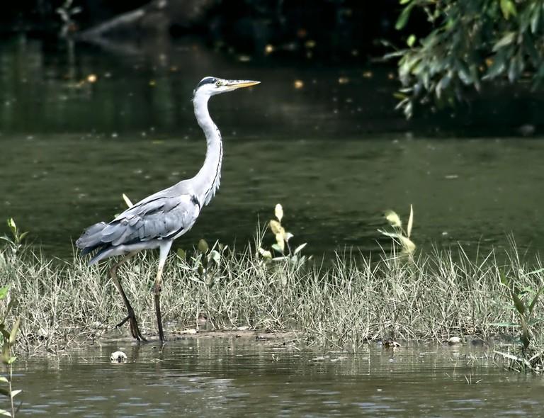Sungei Buloh Wetland Reserve Grey Heron