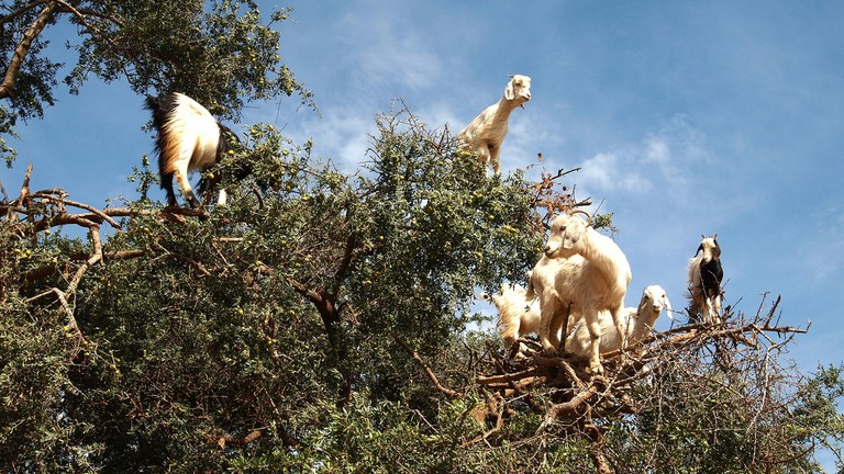 "<a href=""https://www.flickr.com/photos/pollobarca/14080703409/"" target=""_blank"">Goats looking out from the tree branches"