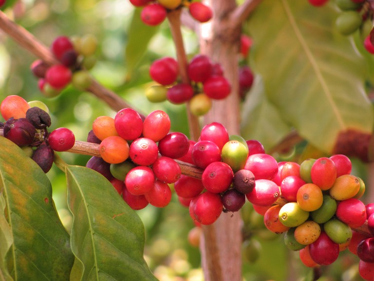 Kids will have a great time picking their own coffee│