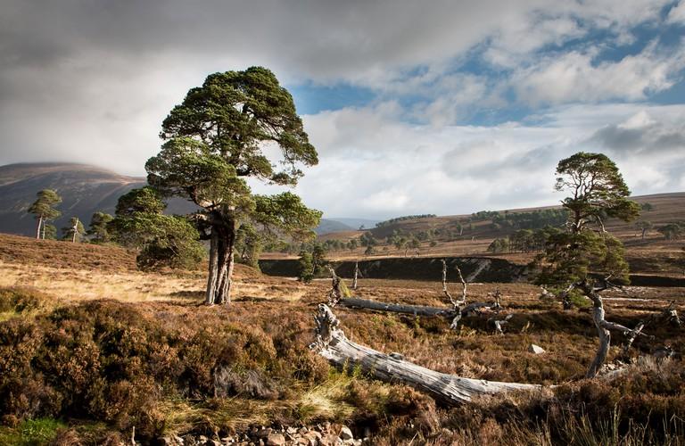 Overgrazed Caledonian pinewood, no young trees