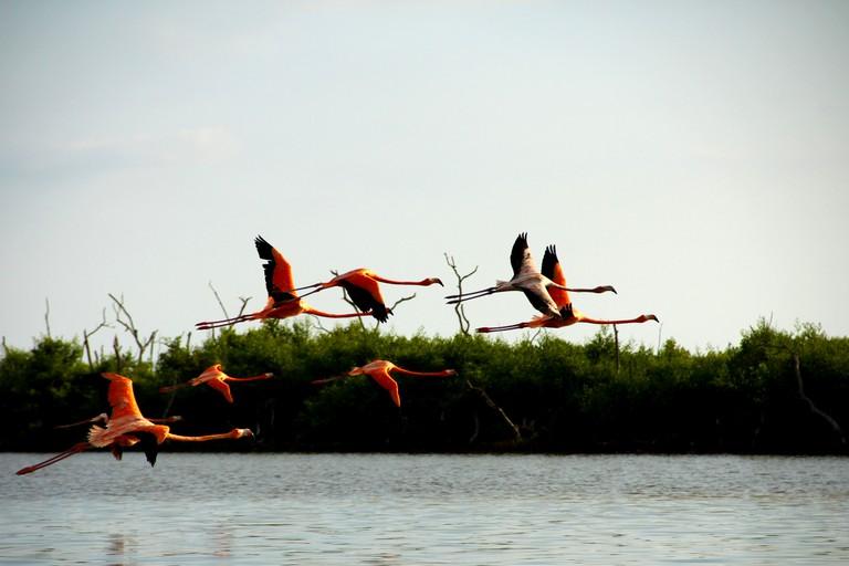 Flamingos in Río Lagartos