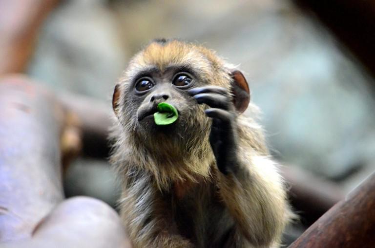 Baby monkey I