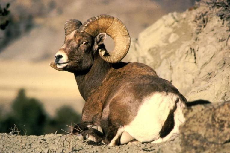 https://commons.wikimedia.org/wiki/File:Bighorn_ram_animal_ovis_canadensis.jpg
