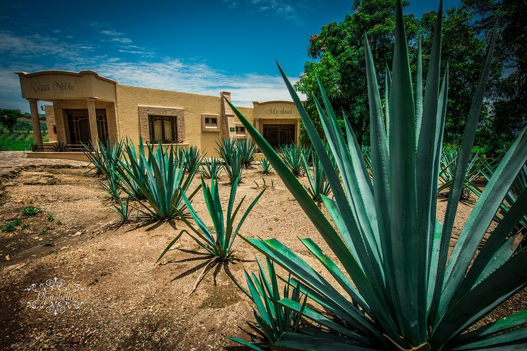Blue agave plants in Tequila