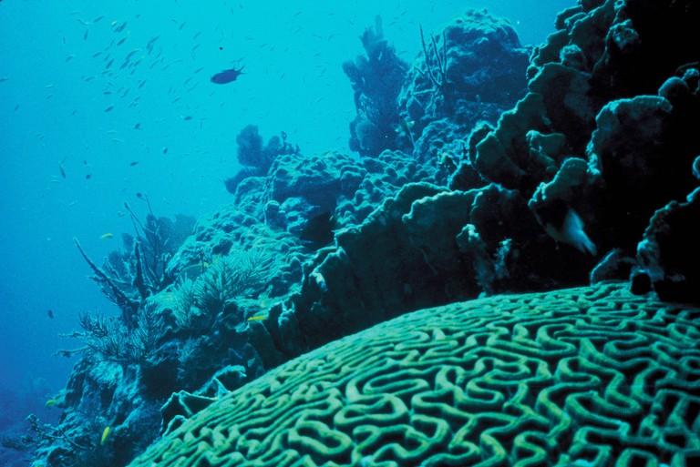 Big brain coral