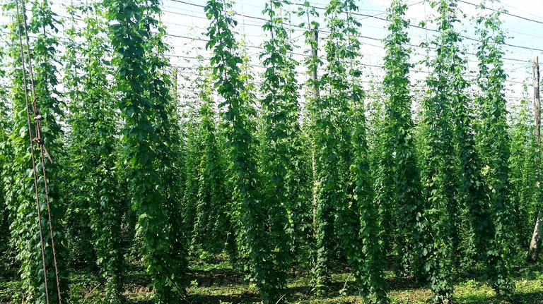 Hops field in Savinja Valley │