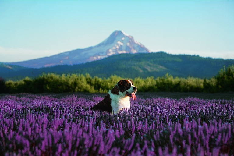 Fields of lavender in the foothills of Mount Hood
