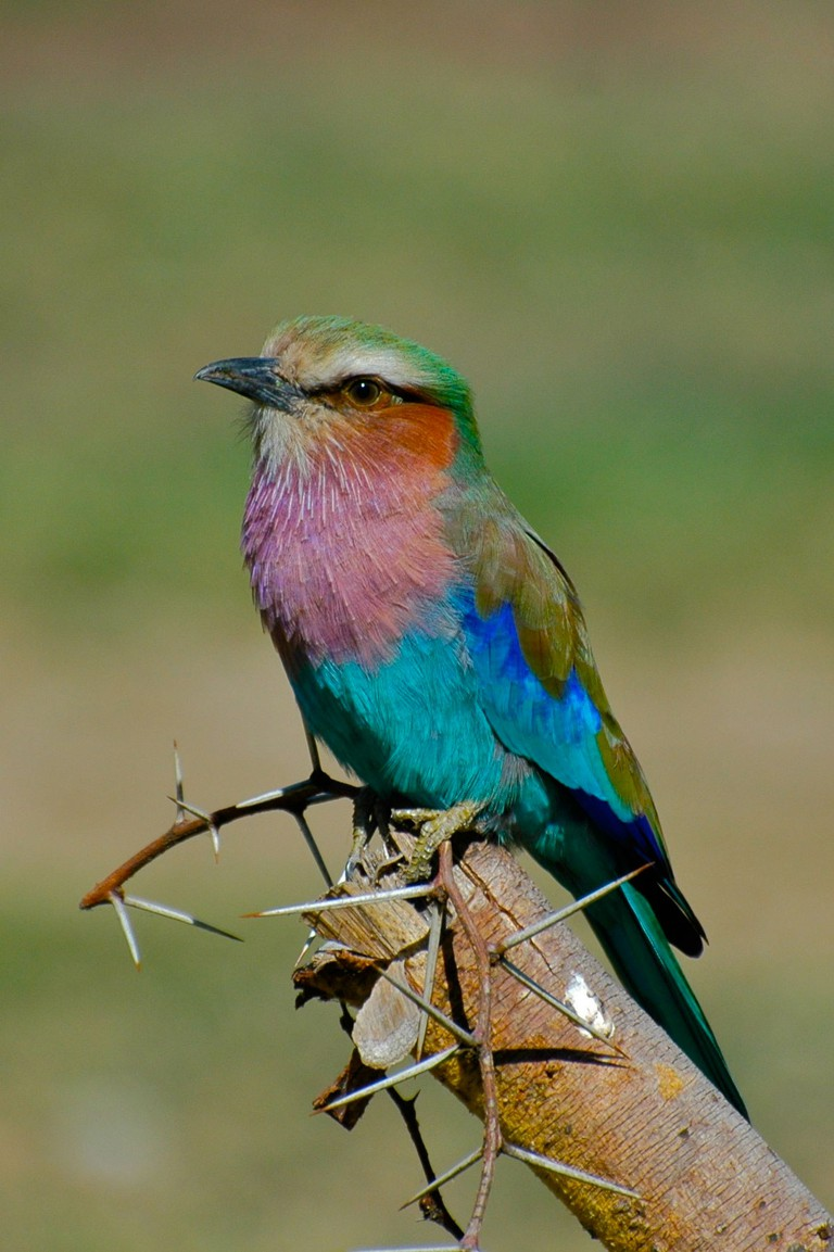 A lilac-breasted roller
