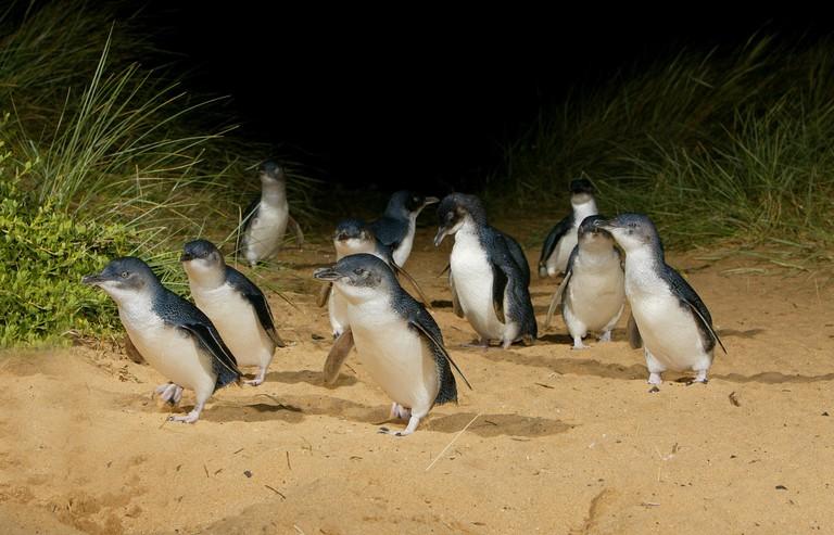 Courtesy Phillip Island Nature Parks