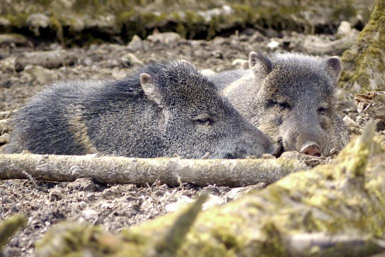 Costa Rican forest piggies