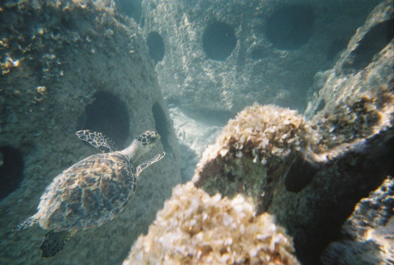 Turtle in Reef Balls