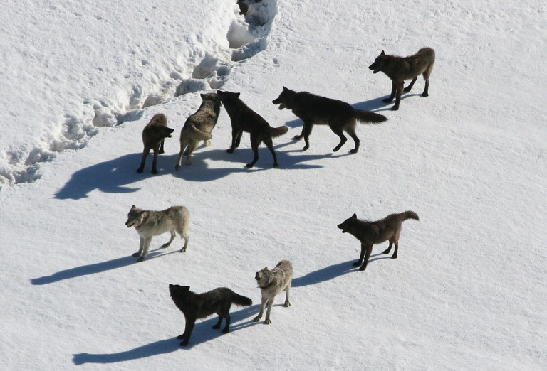 A wolf pack / Public domain / Pixabay