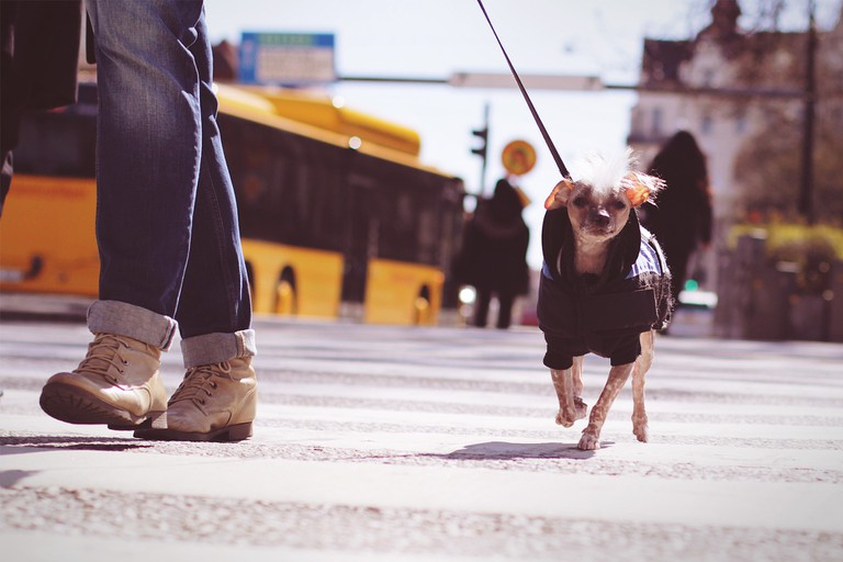 Zebra Crossing – Jaywalking dog