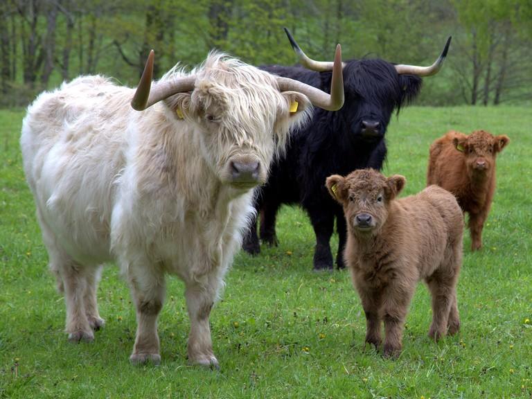 Fluffy Highland Cattle