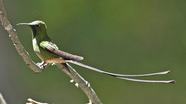 Black-tailed Trainbearer Hummingbird, Ecuador