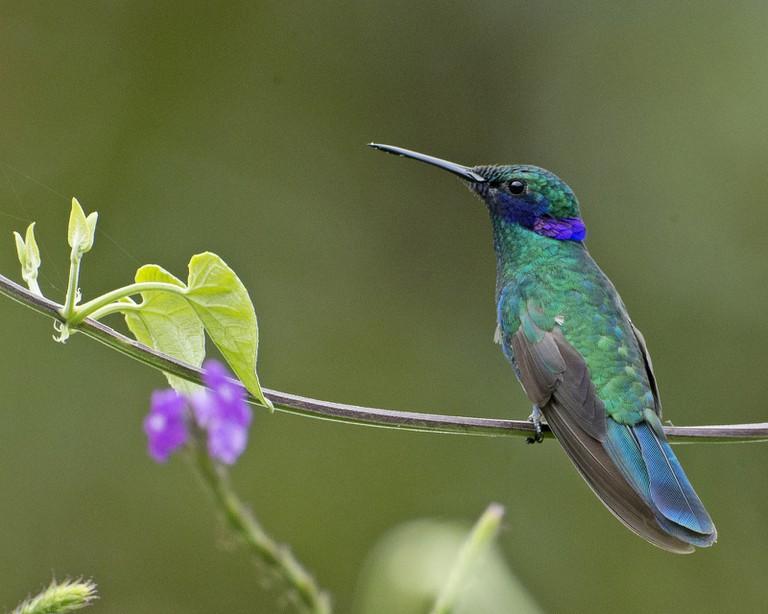 Violet-eared Hummingbird, Ecuador