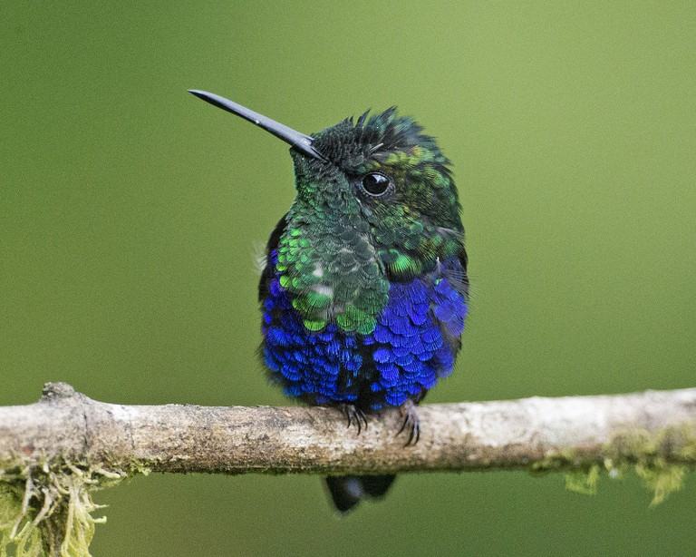 Green Crowned Woodnymph Hummingbird, Milpe, Ecuador | © Lip Kee / Flickr