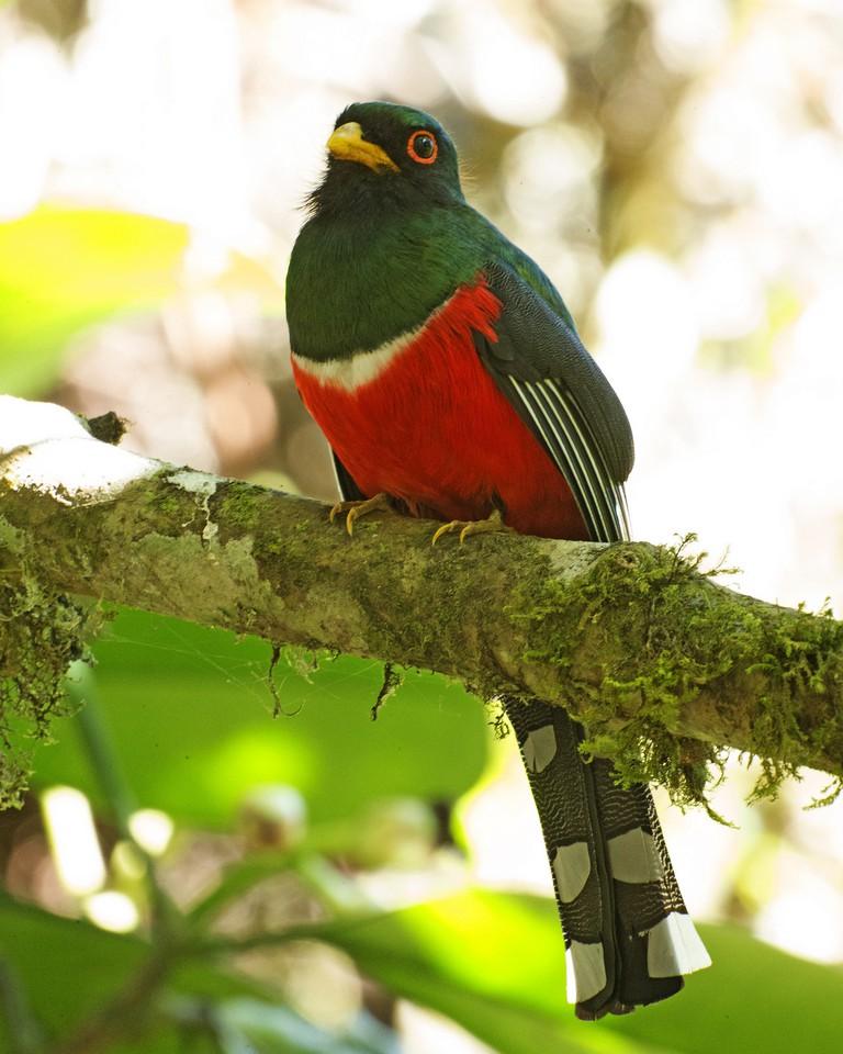Masked Trogon, Ecuador