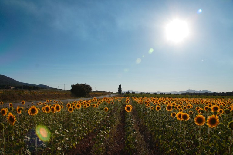 Sunflower field near Valencia I