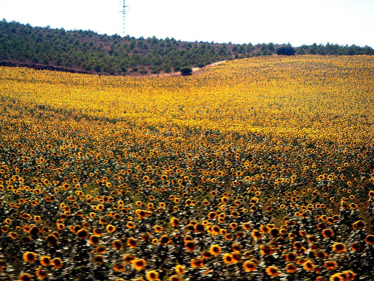 Sunflower fields near Valencia I