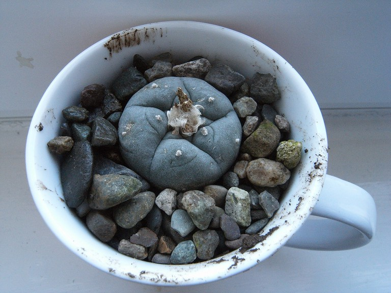Peyote in a teacup