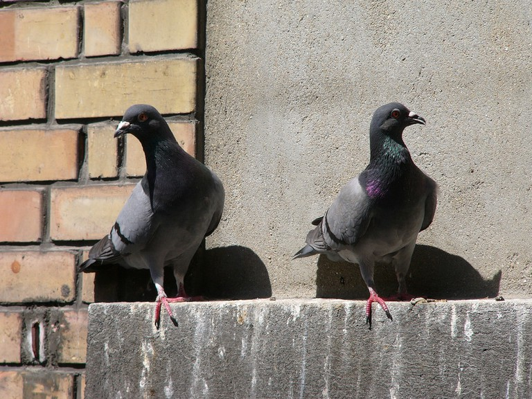 Pigeons are protected by law in Las Vegas