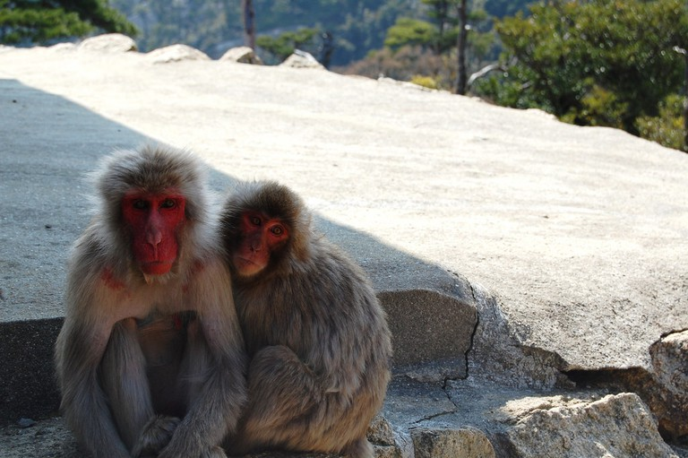 Japanese Macaques at the top of Mount Misen
