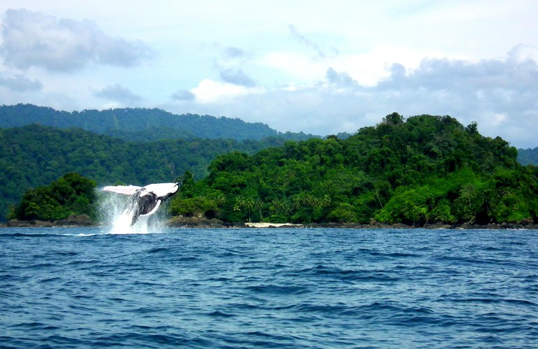 A breaching humpback whale in Utria National Park
