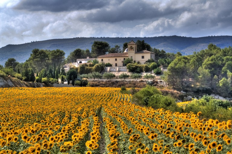 Sunflower fields near Moixent, Valencia I