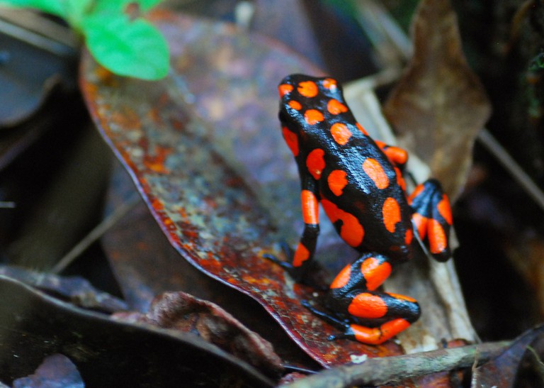 A poison-dart frog in the Choco