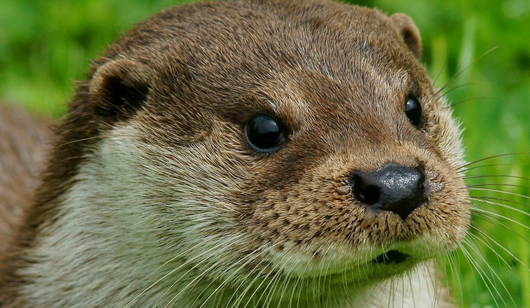 Otter (Lutra lutra). Probably not their King though
