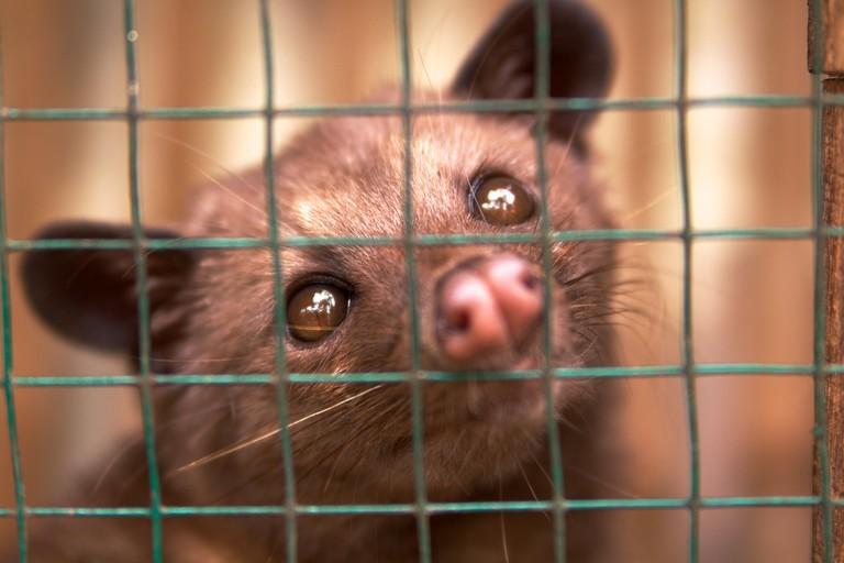 A caged luwak in Bali│