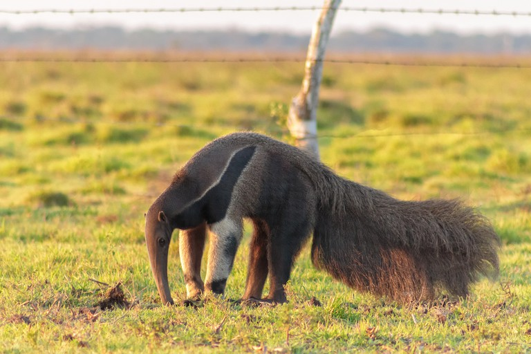 The bizarre and beautiful giant anteater