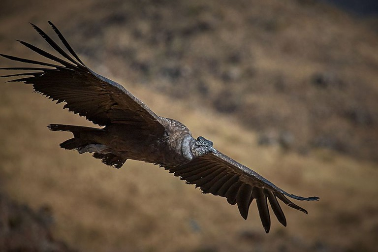 An Andean condor in flight | © Pedro Szekely/WikiComomons