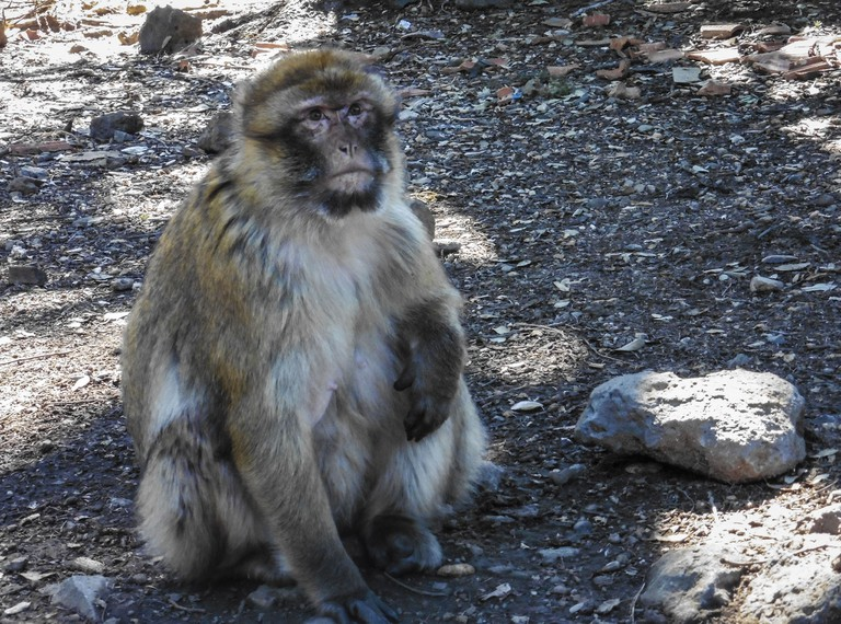 Barbary ape in Morocco