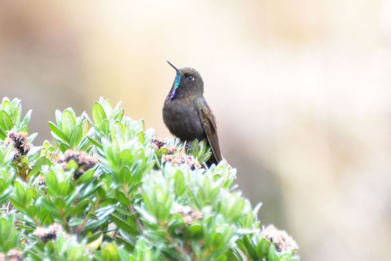 A blue-mantled thornbill, Papallacta Pass, Ecuador | © Don Faulkner/WikiCommons