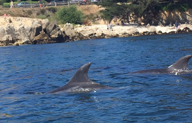 Dolphins in the Pacific in Monterey