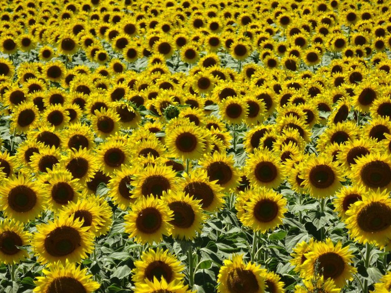 A sunflower field near Loreto