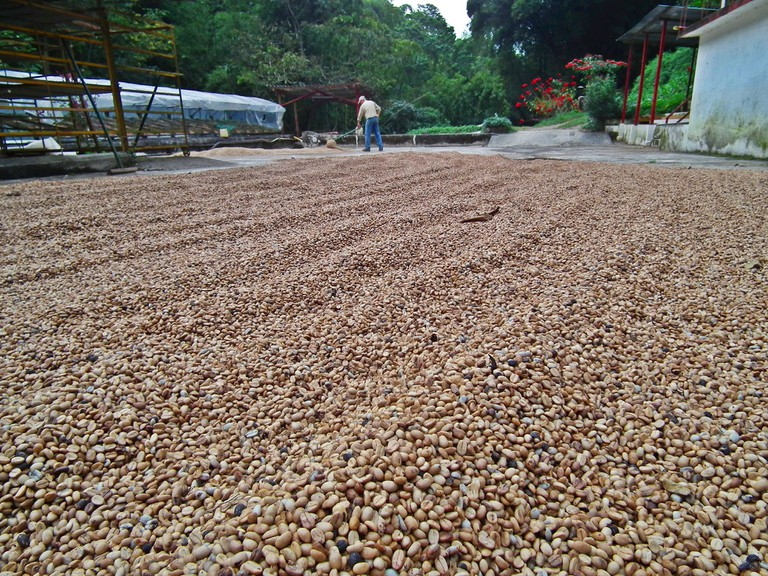 Coffee drying in the sun at La Victoria coffee plantation