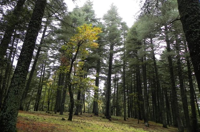 Ifrane cedar forest