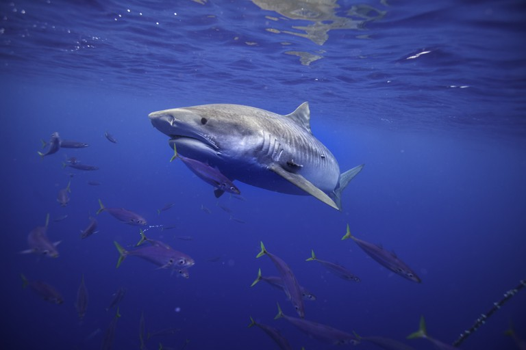 Tiger shark off North Shore of Oahu